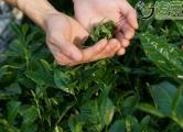 〔读城〕成都地标产品之十:蒲江雀舌,追寻老川茶之根