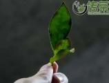 乌龙茶的江湖(十二)丨乌龙茶香型浅析
