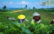 安溪铁观音秋茶上市,质量整体大幅提高,价格稳中有升