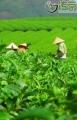 四川非遗体验之旅|雅安蒙顶山蒙山茶技艺体验基地