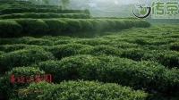 台地茶:或许是被黑的最厉害的云南普洱好茶