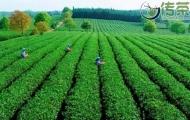 中茶八马澜沧冲刺上市,A股首家茶叶企业即将出炉