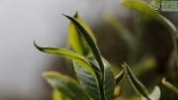摆榔:古树茶园歌声飞茶农采茶忙