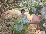 2021春茶古树发的迟干旱减产