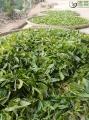 高山古树,拓脱贫之路——揭秘大场村千年古树茶