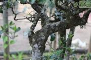 邦崴:只靠一棵千年茶王树,成茶界扛把子?让人服气的野韵花香才是头号王牌