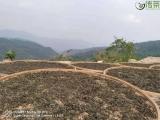 这就是古茶树,长在深山高原!