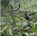 平河村:这里的古茶树比人多几倍